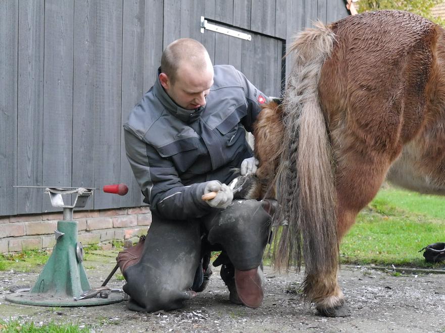 Correct met regelmaat de hoeven bekappen is ook bij shetlanders belangrijk
