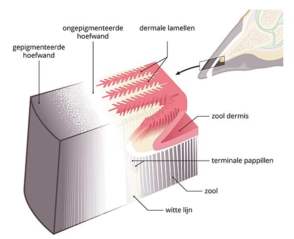 de hoefwand is opgebouwd uit heel veel verticale haarvaten